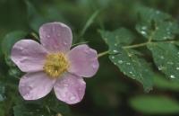 Suņu roze